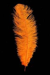 Struisvogelveren ca. 30cm Oranje